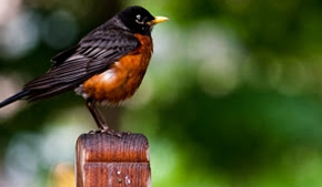 Why some birds aren't making a return this spring