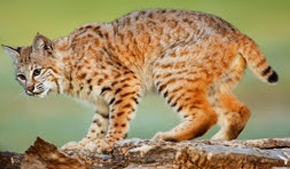 What you need to know about bobcats