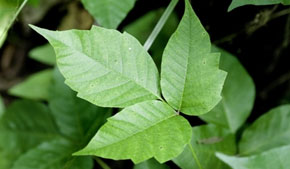 Avoid these 5 poisonous plants