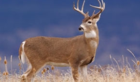 Why there are so many white-tailed deer